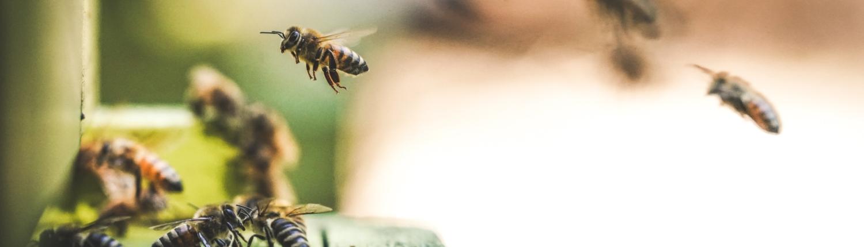 honingbij op vliegplank