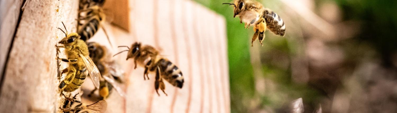 honingbij met stuifmeel