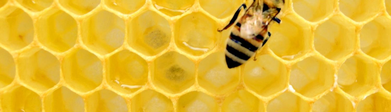 honingbij op bijenraat