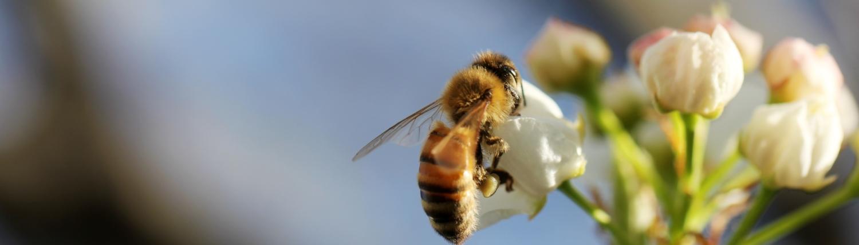 honingbij op bloesem